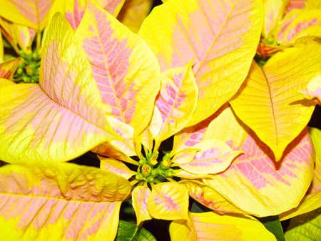 pulcherrima: Mexican Poinsettia noche buena flower (Euphorbia pulcherrima)
