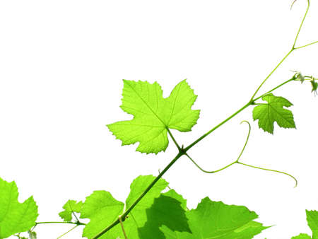 Green vine vitis grapevine leaves isolated over white Stock Photo - 14089036