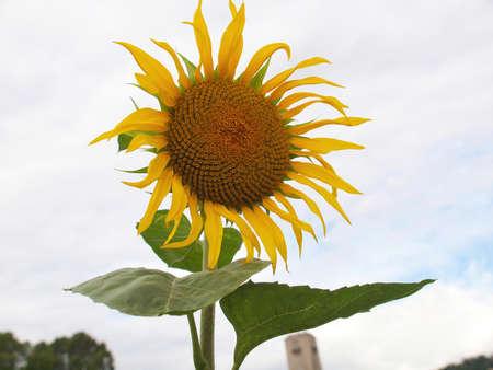 helianthus annuus: Yellow Helianthus Annuus Sunflower flower