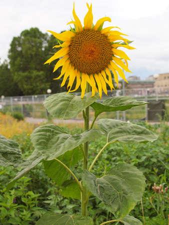 helianthus: Yellow Helianthus Annuus Sunflower flower