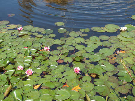 nymphaeaceae: Water Lily Nymphaeaceae in a pond of water