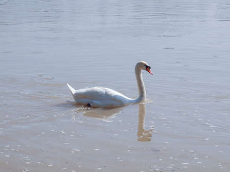 chordata: Swan scientific name Animalia Chordata Aves Anseriformes Anatidae Anserinae Cygnus
