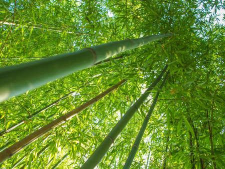 angiosperms: Bamboo plants forest aka Plantae Angiosperms Monocots Commelinids Poales Poaceae Bambusoideae Stock Photo