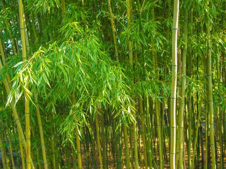 Bamboo plants forest aka Plantae Angiosperms Monocots Commelinids Poales Poaceae Bambusoideae Stock Photo