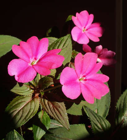 impatiens: Impatiens plant in the family Balsaminaceae native to Papua New Guinea and Solomon Islands