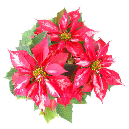 pulcherrima: Euphorbia Pulcherrima aka Christmas Star or Poinsettia flower isolated over white background useful for greeting cards