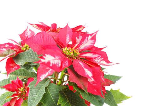 pulcherrima: Euphorbia pulcherrima aka Stella di Natale o Poinsettia fiore isolato su sfondo bianco utile per biglietti di auguri