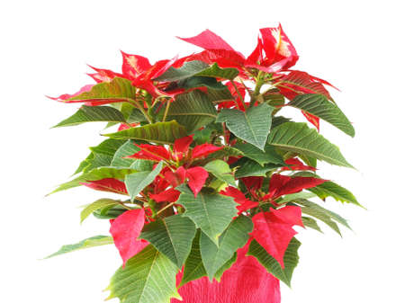 Euphorbia Pulcherrima aka Christmas Star or Poinsettia flower isolated over white background useful for greeting cards photo