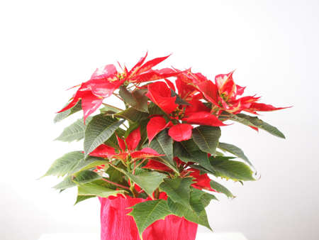 Red Christmas star Poinsettia Euphorbia pulcherrima flower photo