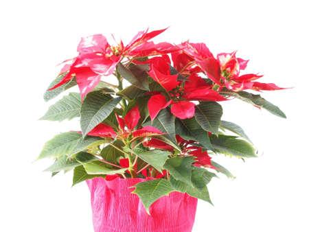 pulcherrima: Stella rossa di natale Poinsettia Euphorbia pulcherrima fiore