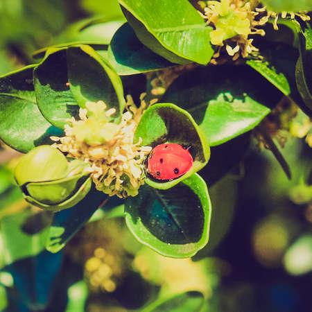 insecta: Vintage looking Beetle - Animalia Arthropoda Insecta Pterygota Neoptera Endopterygota Coleoptera