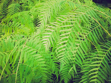 Vintage looking Fern leaves (Pteridophyta) useful as a background
