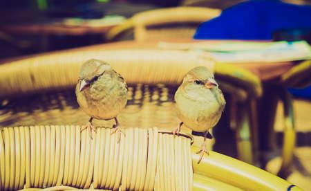passerine: Vintage in cerca Usignolo Luscinia megarhynchos rossiccio piccolo uccello passerine