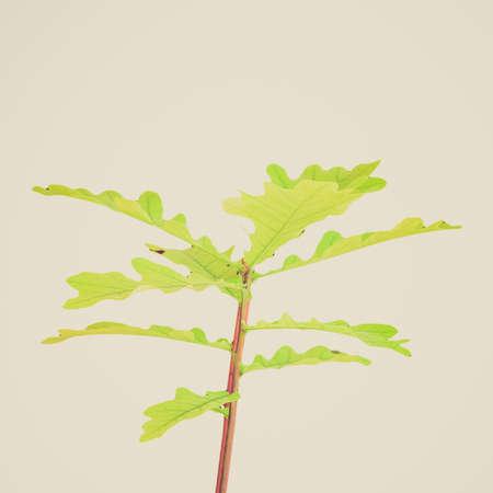 fagaceae: Vintage looking Oak tree Plantae Magnoliophyta Magnoliopsida Fagales Fagaceae Quercus - isolated over white background