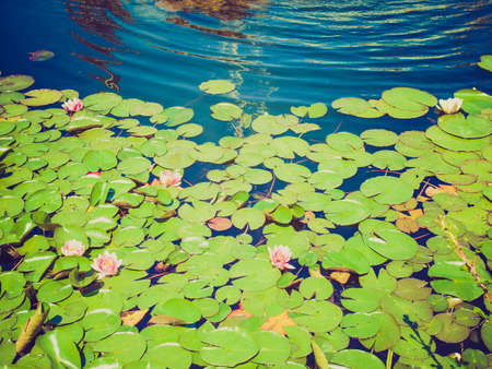 nymphaeaceae: Vintage looking Water Lily Nymphaeaceae in a pond of water