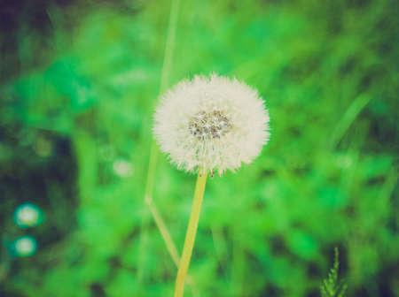 herbaceous: Vintage looking Taraxacum officinale common dandelion, herbaceous perennial plant Stock Photo