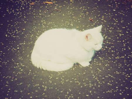 chordata: Vintage looking Cat - Animalia Chordata Mammalia Carnivora Felidae Felis catus