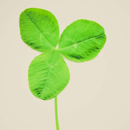 three leafed: Vintage looking Shamrock three leafed old white clover trifolium plant - isolated over white background