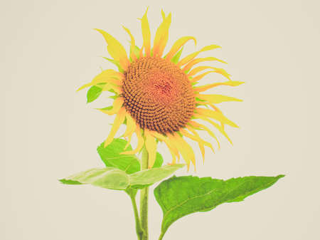 helianthus: Vintage looking Yellow Helianthus Annuus Sunflower flower  Stock Photo