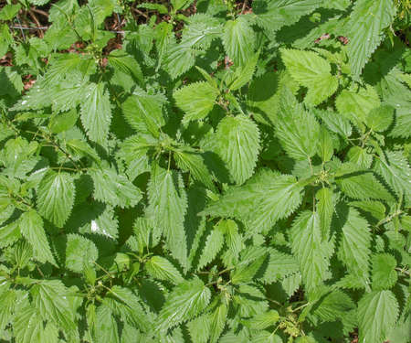 urtica: Urtica dioica aka stinging nettle or common nettle herbaceous perennial plant