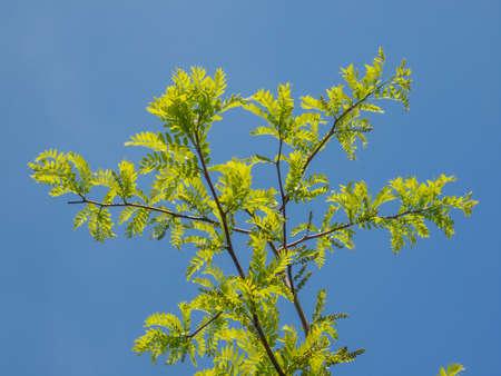 carob: Ceratonia siliqua commonly known as carob tree over blue sky