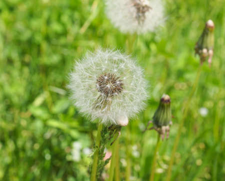 Taraxacum officinale common dandelion herbaceous perennial plant photo