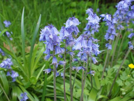 cowslip: Mertensia virginica flowers aka Virginia bluebell or Virginia cowslip or lungwort or oysterleaf or Roanoke bells