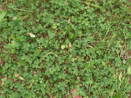 trifolium: Clover Trifolium trefoil meadow Stock Photo