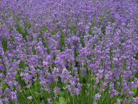 lavandula: Flowers of Lavandula Angustifolia aka Lavender