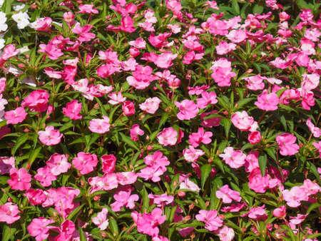 Nuova Guinea: Impatiens pianta della famiglia Balsaminaceae nativo di Papua Nuova Guinea e Isole Salomone