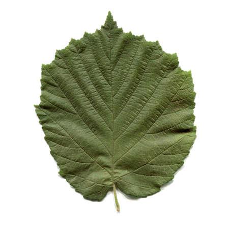 albero nocciola: Foglia di un nocciolo aka Corylus isolato su sfondo bianco