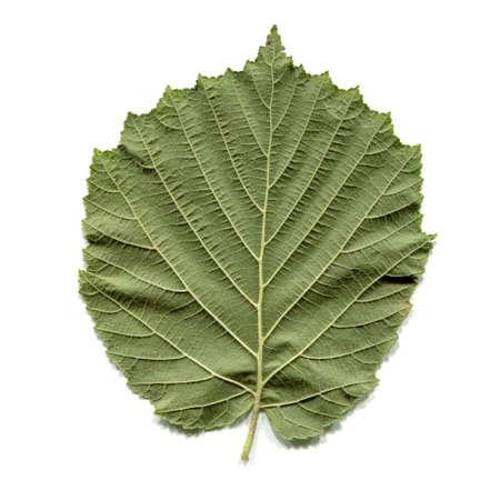 hazel tree: Leaf of a hazel tree aka Corylus isolated over white background