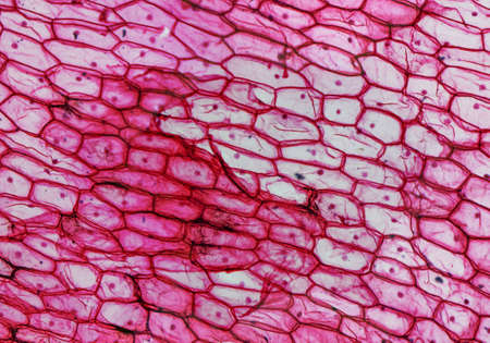 High resolution light photomicrograph of Onion epidermus cells seen through a microscope Banque d'images