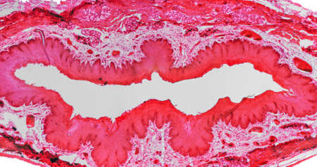 stratified: High resolution light photomicrograph of stratified flat epithelium section seen through a microscope