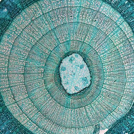 tilia: High resolution light photomicrograph of tilia stem cross section seen through a microscope Stock Photo