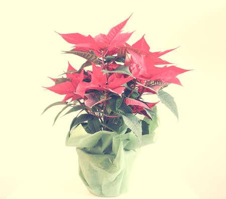 pulcherrima: Red Christmas star Poinsettia Euphorbia pulcherrima flower Stock Photo