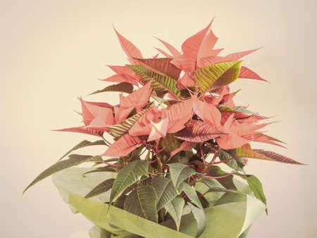 christmas star: Stella rossa di Natale Poinsettia Euphorbia pulcherrima fiore Archivio Fotografico