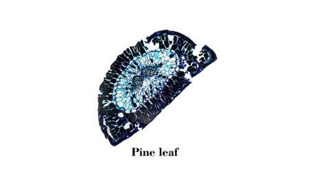 photomicrograph: Light photomicrograph of Pine leaf cross section seen through microscope
