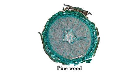 micrograph: Light photomicrograph of Pine tree wood cross section seen through microscope