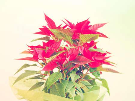 pulcherrima: Stella rossa di Natale Poinsettia Euphorbia pulcherrima flower - look vintage