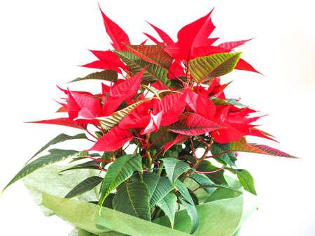 pulcherrima: Red Christmas star Poinsettia Euphorbia pulcherrima flower - vibrant bright pop colours