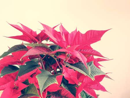pulcherrima: Stella rossa di Natale Poinsettia Euphorbia pulcherrima fiore Archivio Fotografico