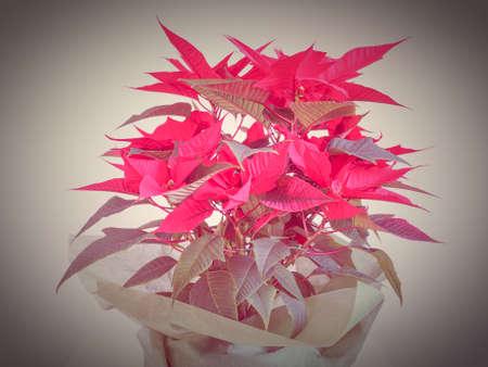 pulcherrima: Red Christmas star Poinsettia Euphorbia pulcherrima flower Editorial