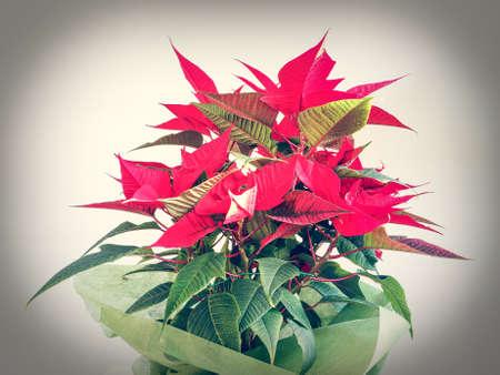 christmas star: Stella rossa di Natale Poinsettia Euphorbia pulcherrima fiore Editoriali