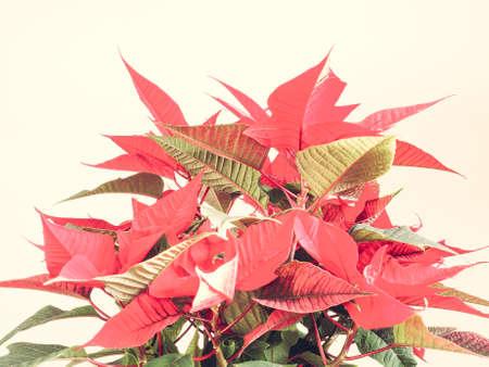 pulcherrima: Stella rossa di Natale Poinsettia Euphorbia pulcherrima fiore Editoriali