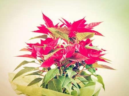 pulcherrima: Red Christmas star Poinsettia Euphorbia pulcherrima flower - vintage look