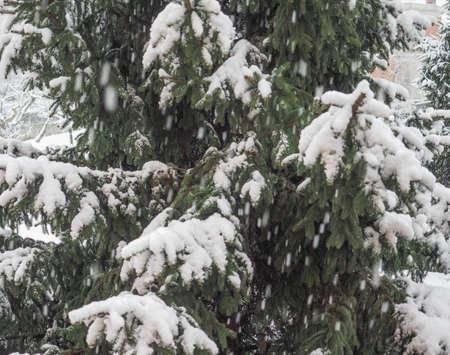 genus: Pine tree coniferous plant in the genus of Pinus covered in snow in winter