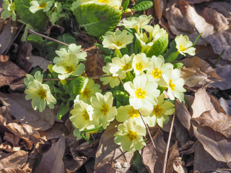 among: Primula means prime since it is among the first flowers to blossom in early spring Stock Photo