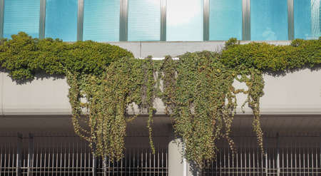 ivy hanging: Ivy on a building facade hanging gardens
