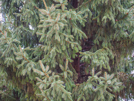 genus: Pine tree coniferous plant in the genus of Pinus useful as background Stock Photo